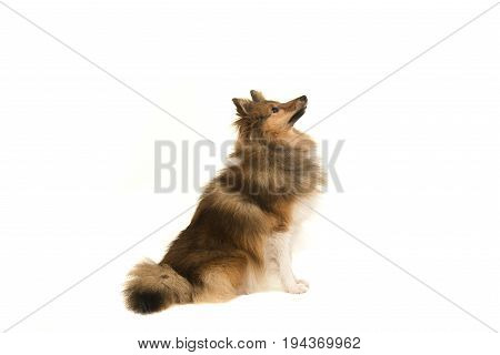 Shetland sheepdog looking up seen from the side isolated on a white background