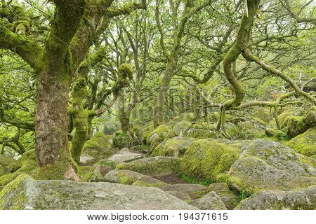 Wounded trees covered with moss in fairytale wistman's forest in dartmoor national park