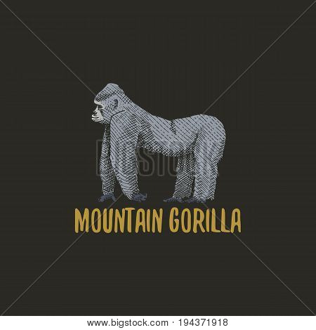 mountain gorilla engraved hand drawn in old sketch style, vintage animals. Monkey, ape or primate logo or emblems, retro label and badge