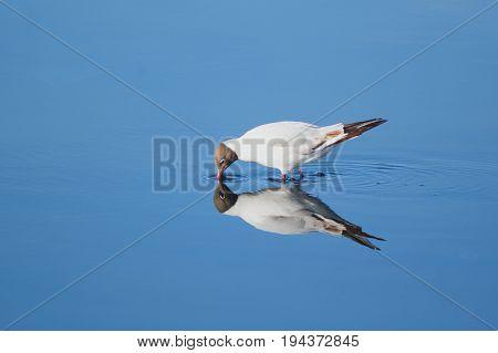 Black-headed seagull feeding in Seaton Wetlands Devon