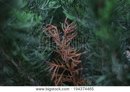 Different pine trees  Different brow green plant crop