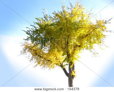 Fall Tree Isolated
