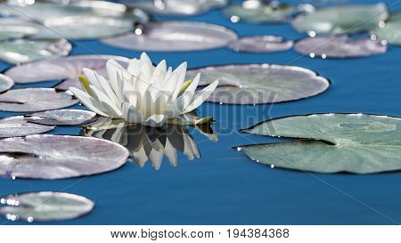 White lotus flower on mirror blue pond surface. Toned and filtered outdoors stock photo with reflection.