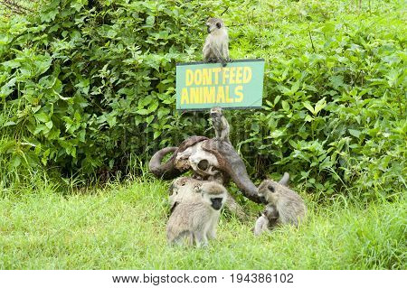 Baboons in Serengeti National park in Tanzania