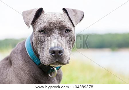 a young pitbull with blue collar portrait
