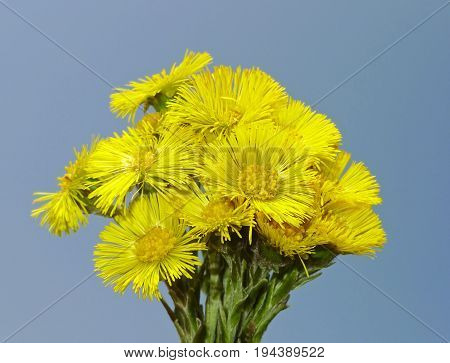 herb Tussilago farfara - coltsfoot on blue sky background