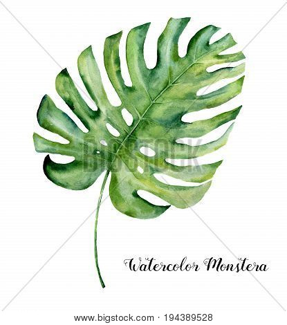 Watercolor tropical leaf of monstera. Hand painted evergreen tropic plant isolated on white background. Botanical illustration. For design, print or background.