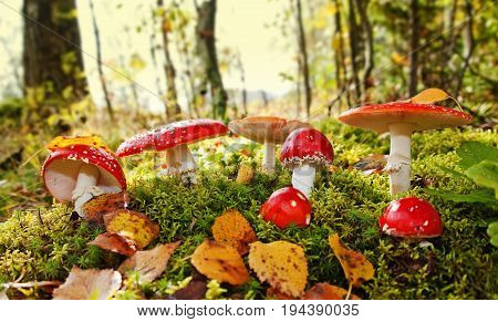fly agaric toadstool in a autumn forest