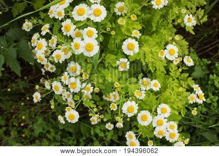 Chrysanthemums With Small White Flowers