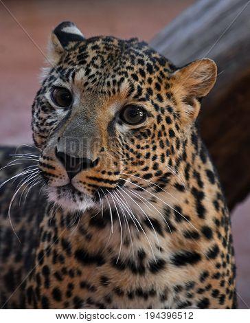 Close Up Portrait Of Amur Leopard