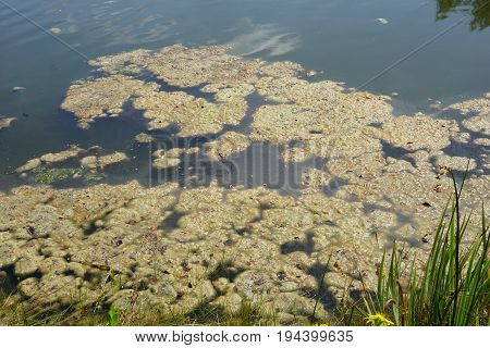 Algae float on the surface of a small lake in Joliet, Illinois during August.