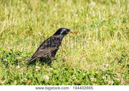 Common Starling Sturnus Vulgaris on the green field eating bugs and beatles
