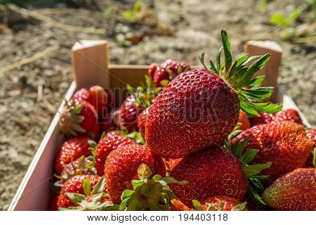 Red strawberries in a wooden box strawberry farm field
