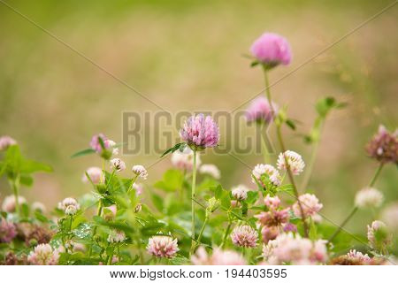 white Flowering clover Trifolium pratense. selective focus macro shot with shallow DOF.