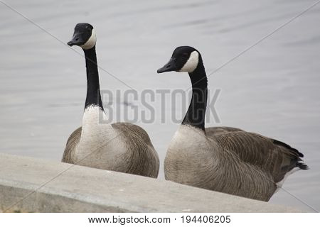 two Canadian Geese getting out of a lake