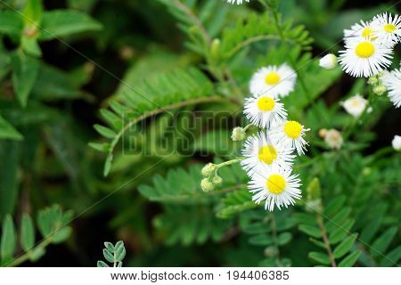 Oxeye daisies (Leucanthemum vulgare) bloom in Plainfield, Illinois during June.