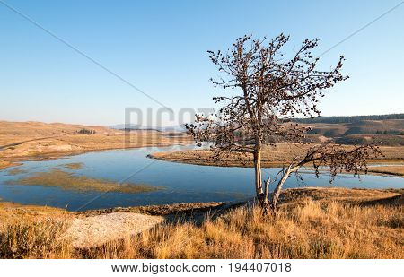 Lone tree on bluff above the Yellowstone river in the Hayden Valley in Yellowstone National Park in Wyoming USA