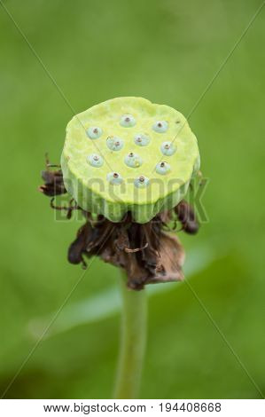 close up lotus seed in nature garden