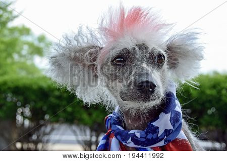 Chinese Crested Hairless dog with patriotic flag scarf and red dyed fur
