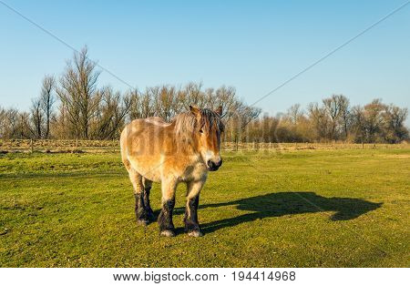 Belgian draft horse looks at the photographer while standing in the grass of a Dutch meadow on a sunny day in the winter season.