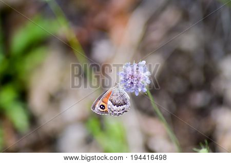Orange butterfly posed on mauve flowers background in the region of Trentino-Alto Adige