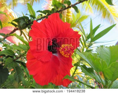 A tropical hibiscus flower in full bloom