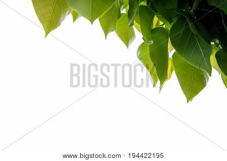 Bodhi leaf  the tree with white background for text.