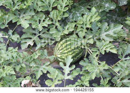 Watermelon In The Vegetable Garden Of A Farmer