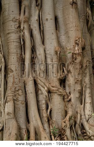 Roots of a climbing plant in the jungle