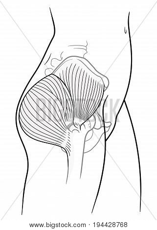 The internal structure of the human pelvic belt gluteus maximus gluteus medius muscle side view. On a white background