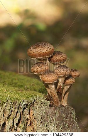 Mushrooms Armillaria spp (Armillaria ostoyae)  in the forest , Autumn