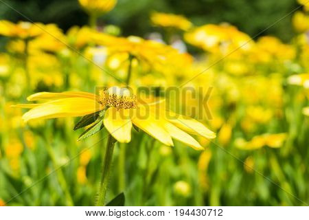 Close-up of a beautiful Yellow Flower in Sunlight. Golden Daisy Bush in Summer. Blooming Flowers in Summer. Yellow Flowers on a Meadow. Euryops chrysanthemoides