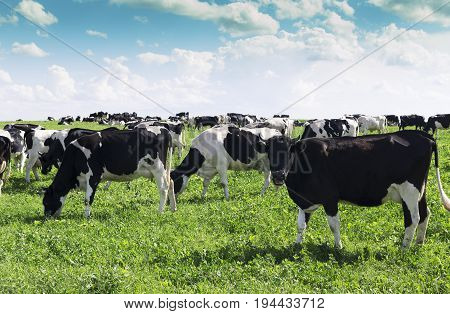 Funny cows grazing on a summer green field