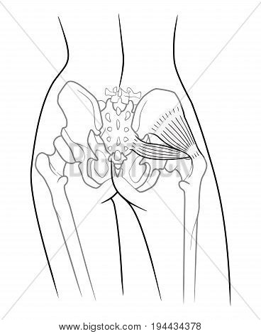 The internal structure of the pelvic girdle female skeleton and gluteus minimus muscle and piriformis rear view. On a white background