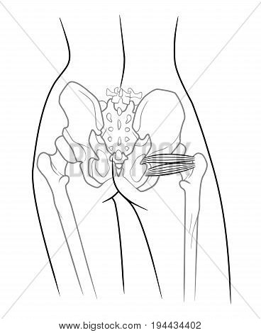 The internal structure of the pelvic girdle human skeleton Musculus gemellus inferior musculi gemelli Musculus gemellus superior Upper twin muscle lower twin muscle rear view. On a white background poster