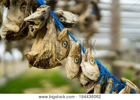 Dried fish has been a staple food of the Icelanders for centuries and it is mentioned frequently in Icelandic tales