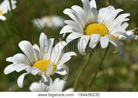 Very pretty pair of blooming common daisies flowering.
