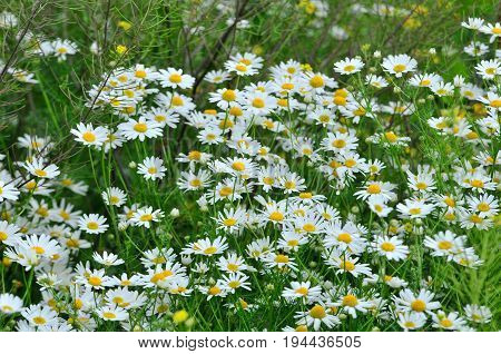 Meadow plants, wildflowers. Daisy, Сamomile, ox-eye daisy.