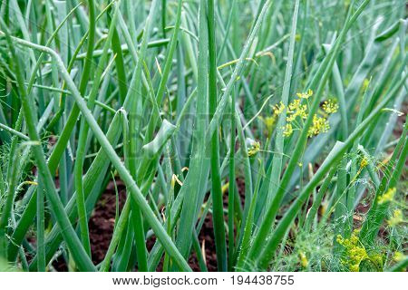 Green onion grows on a bed on a farm
