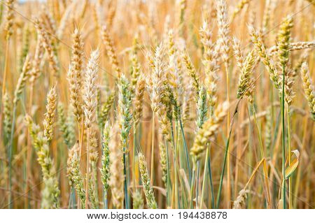 A field of Rye close up. A field of Rye close up