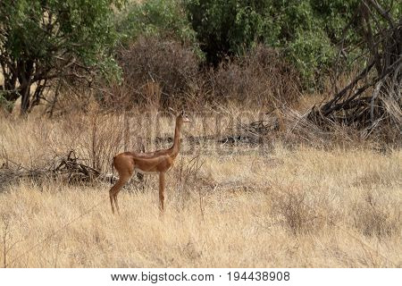 A Giraffe gazelles in the savannah of Kenya