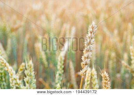 Close up view of rye ears on the field
