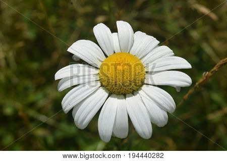 Perfect blossoming common daisy flower looking beautiful.