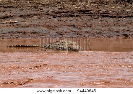 Nile Crocodile in the Samburu River in Kenya