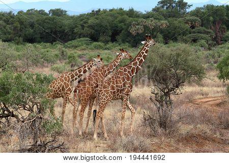 Giraffes in the African savannah of Kenya