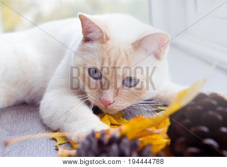 Young cat with blue eyes playing in autumn leaves