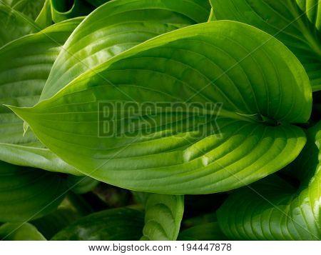 Beautiful photo of green Hosta leaf. Natural background