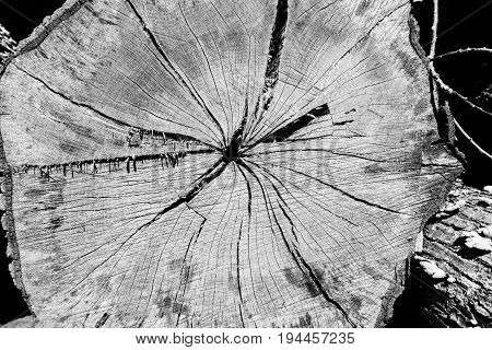 Old cuts of felled trees. Black and white.