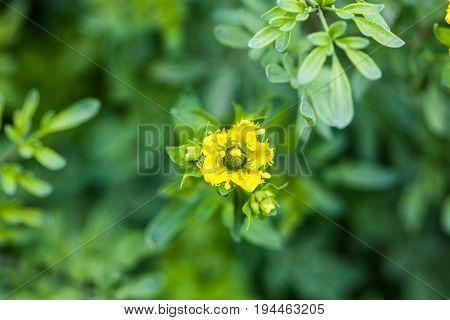 Wet plant and flower of common rue (Ruta graveolens)