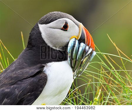Close up of Puffin with beak full of sand-eels